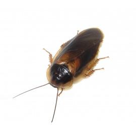 Argentinski ščurki