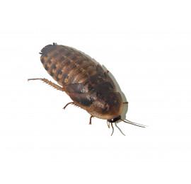 Argentinski ščurki - 100 kos - srednji