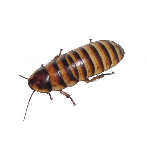 ZAMRZNJENI Javanski ščurki - 1kg
