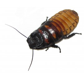 Zamrznjeni madagaskarski ščurki - 1 kg